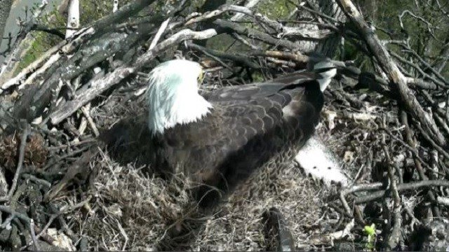 An eagle keeps the egg warm in its nest. (Credit: dceaglecam.org)