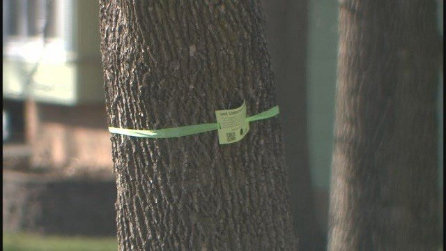 Trees tagged with green ribbons of support to keep trees (Credit: KMOV)