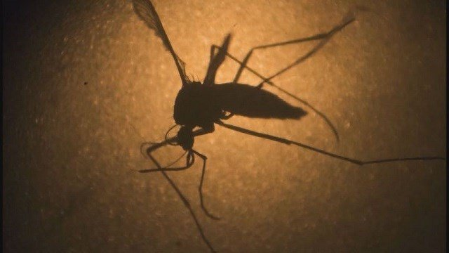 Mosquito (Credit: KMOV)