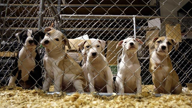Pit bull puppies are seen at an emergency shelter that has been housing hundreds of dogs seized as part of the largest dogfighting raid in U.S. history Tuesday, Nov. 10, 2009, in St. Louis. (Credit: AP Photo / Jeff Roberson)