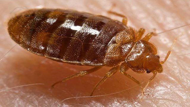 A new study reveals that bed bugs have developed a thicker skin that enables them to survive exposure to commonly used bug spray. (Credit: 	Piotr Naskrecki/CDC)