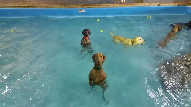 A Chesapeake Bay Retriever stood still in the pool (Credit: Happy Tails Resort / Facebook)