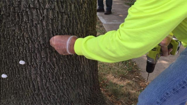An employee doing tree injections (Credit: Maggie Crane / Twitter)