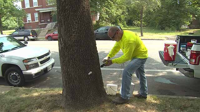 A worker doing work on an ash tree. Credit: KMOV