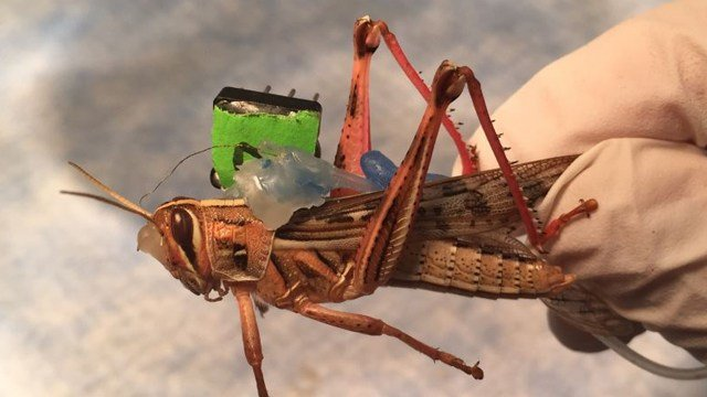 Researchers at WashU are using locusts in bomb-detection technology. (Credit: KMOV).