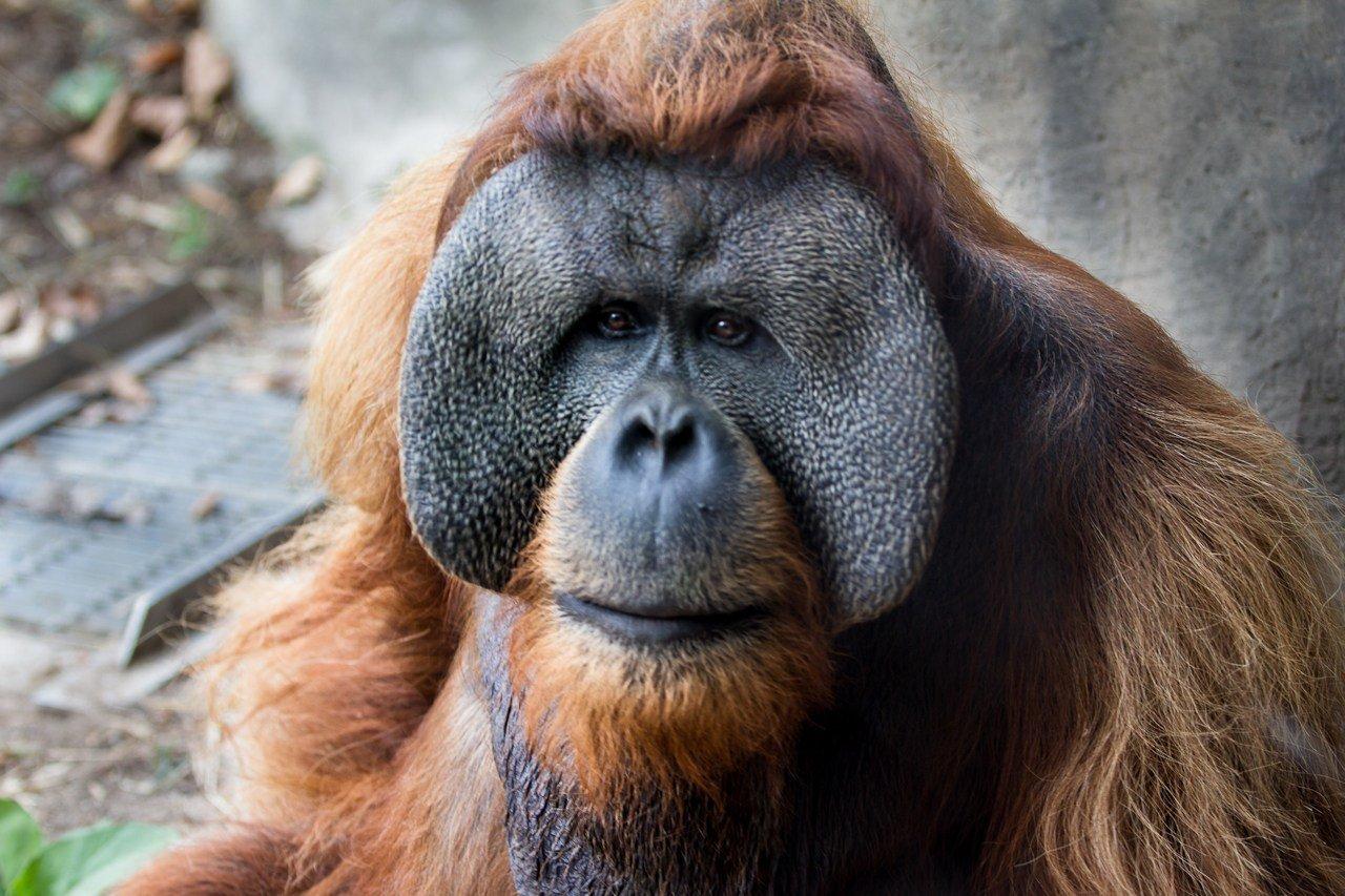 Robert B (St. Louis Zoo)
