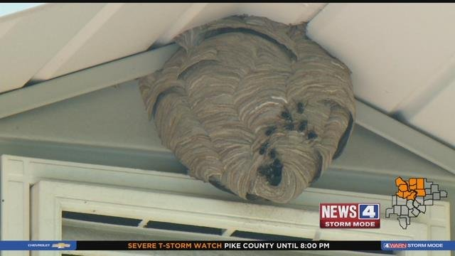 A wasp nest. Credit: KMOV