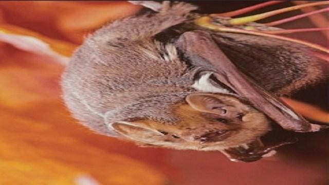Eastern red bat (Credit: KMOV)