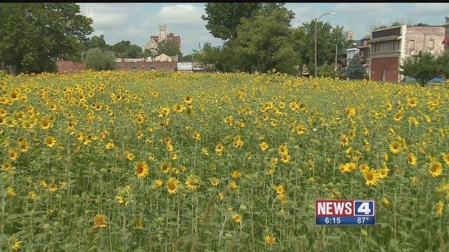 A beautification project is turning vacant St. Louis lots into havens for sunflowers. Credit: KMOV