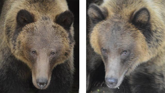 Grizzly bears (Credit: St. Louis Zoo)