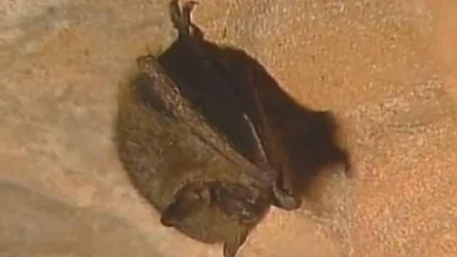 A bat. Credit: KMOV