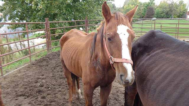 Several starving horses and mules were rescued from northern Missouri by the Humane Society Tuesday. Credit: Humane Society of Missouri