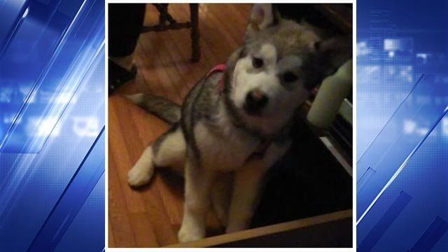 London was reported missing after her owner got hit by a vehicle Tuesday (Credit: O'Fallon Park Rangers/Animal Control)