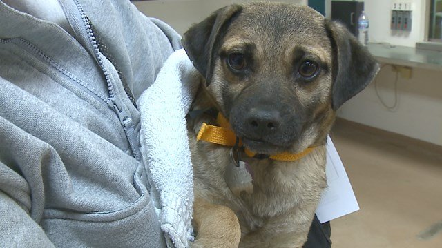 The Humane Society of Missouri rescued 60 puppies from a property in Western Missouri and brought them to St. Louis. (Credit: KMOV).
