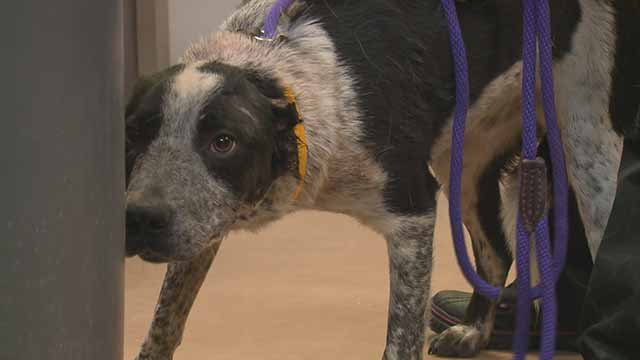 165 dogs were rescued from Diana's Grove Dog Rescue near Cabool, Mo. and taken to the Humane Society in St. Louis. Credit: KMOV