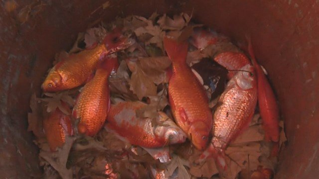 Hundreds of dead goldfish are turning up in the Grand Basin in Forest Park. (Credit: KMOV).