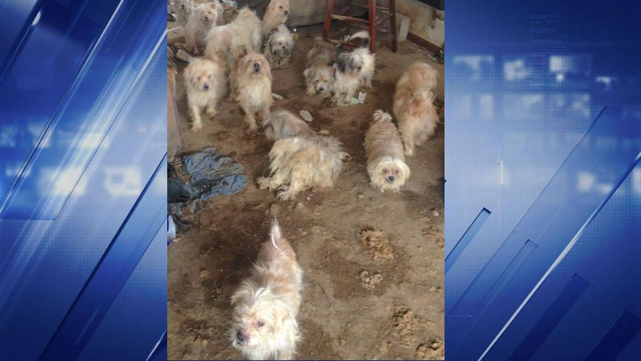 31 dogs have been rescued in Benton, MO (Credit: Humane Society of Missouri)