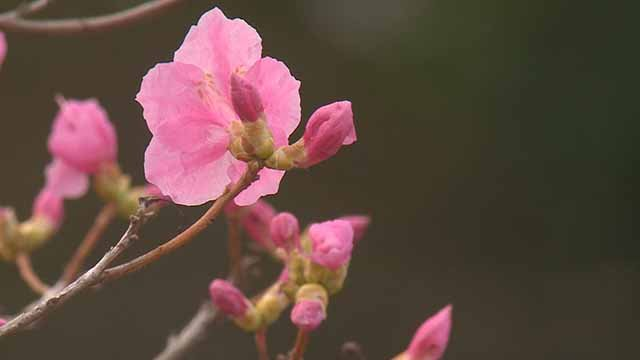 Some are worried about what a freeze will do plants that have bloomed during a warm stretch in winter. Credit: KMOV