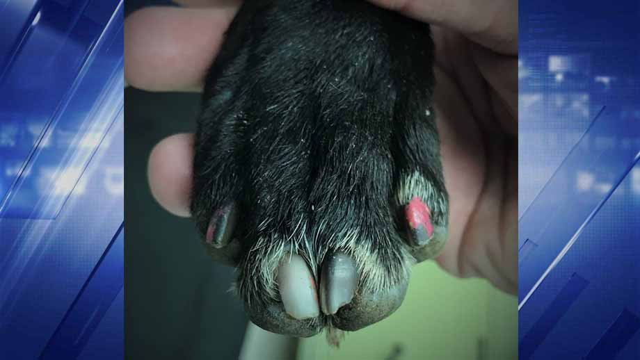 A paw of the dog that was stabbed multiple times. Credit: Belleville PD