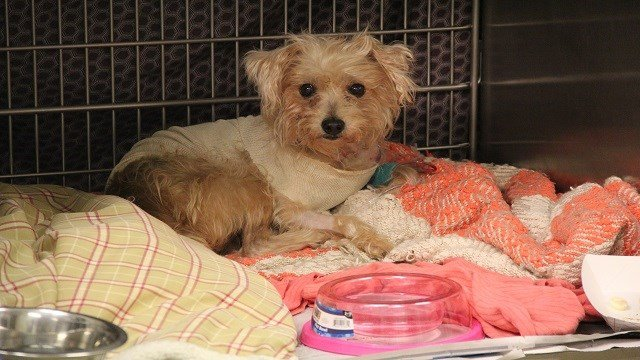 Frannie was stabbed 19 times and is the care of the Humane Society of Missouri (HSOM)