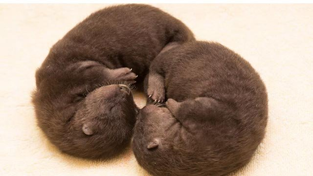 Otter Pups (Credit: Oregon Zoo)