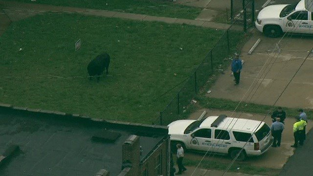 Cows escaped a slaughter house in north St. Louis (KMOV)