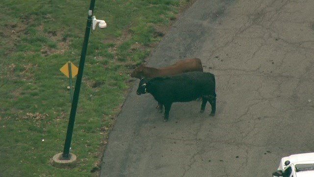 Escape of cattle from St. Louis slaughterhouse spurs hours-long police roundup