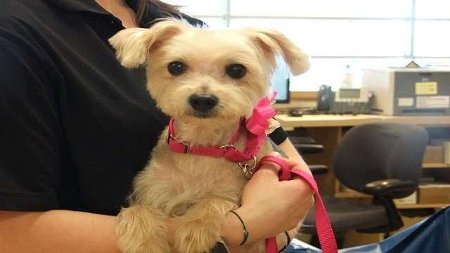 Frannie has a new home after being stabbed 19 times. (Credit: Humane Society of Missouri)