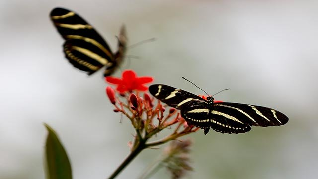 Zebra longwing butterflies (Credit: AP Photo / Keith Srakocic)