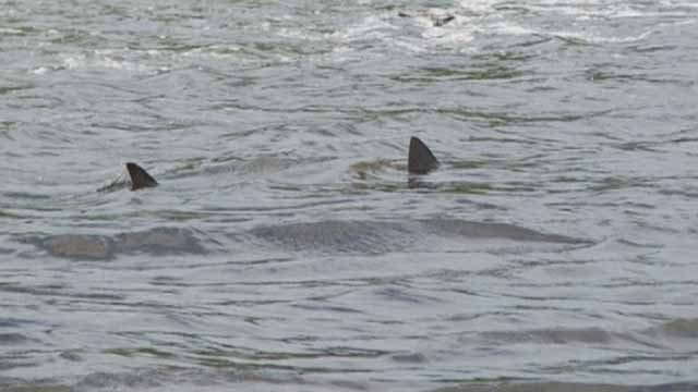 Despite what's been going around social media, Great White Sharks have not made their way up the Mississippi River to St. Louis. Credit; KMOV