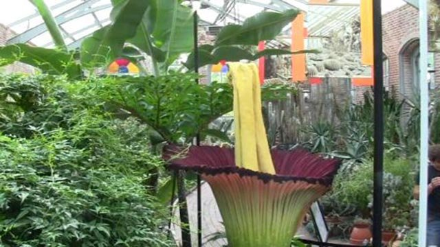 Amorphophallus titanum, commonly known as the 'corpse flower' blooms at the Missouri Botanical Garden (Credit: Missouri Botanical Garden)