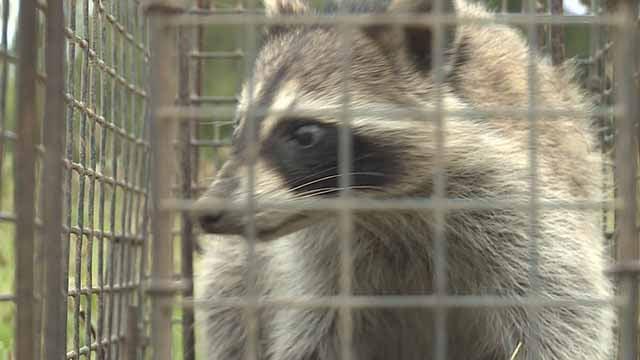 A raccoon. Credit: KMOV