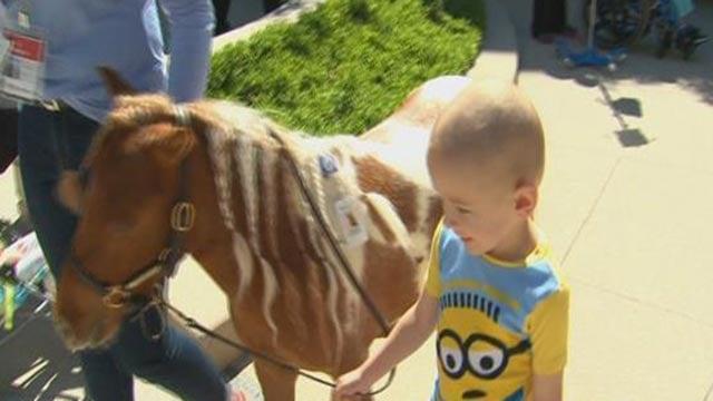Applejack the miniature horse outside Mercy Children's Hospital (Credit: KMOV)