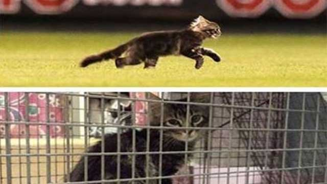 Photo of Rally Cat on Busch Stadium field (top) Photo of cat captured at City Garden (bottom) (Credit: St. Louis Feral Cat Outreach / Facebook)