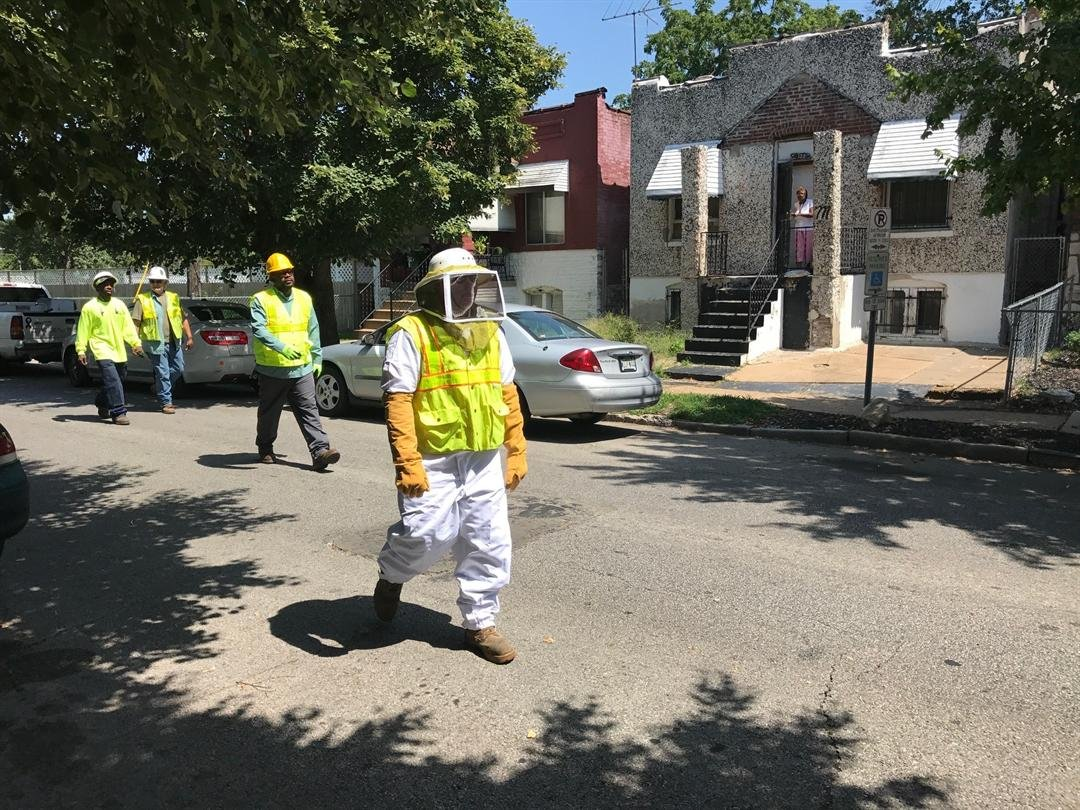 A St. Louis Forestry Division employee puts on a bee suit and prepares to remove a large hornets nest.
