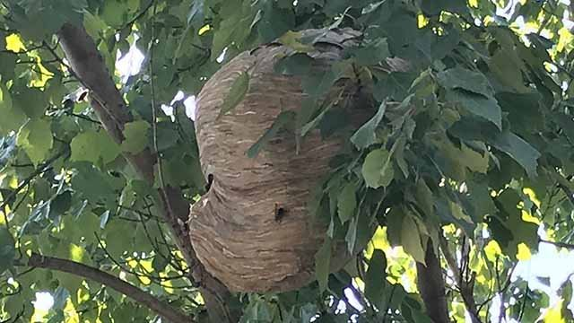 A large hornets nest in a tree in the 3100 block of Whittier. Credit: KMOV