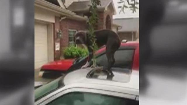 Rescuers found a dog on top of a car in Houston flooding