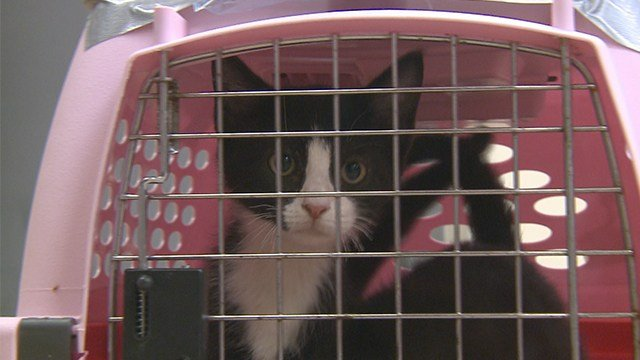 The Humane Society of Missouri rescued 51 adoptable cats from Houston this weekend. (KMOV)