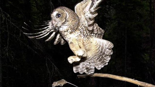 Northern Spotted Owl chases after a mouse, Deschutes National Forest, Camp Sherman, Oregon, photo