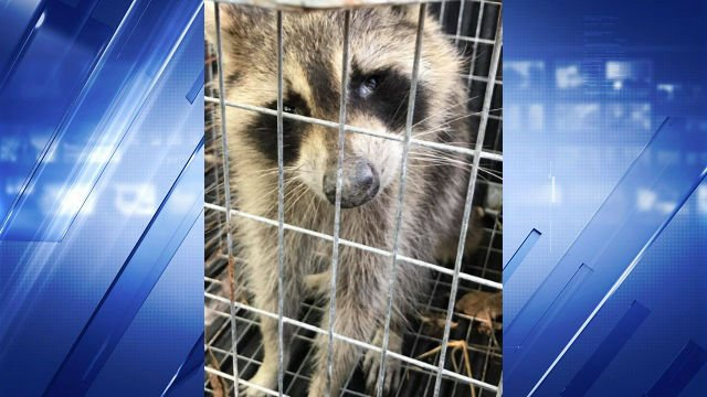 A captured raccoon with distemper sits in a cage. (Credit: Teya King / Facebook)