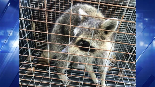 The captured raccoon has mucus in its eyes and nose. (Credit: Teya King / Facebook)