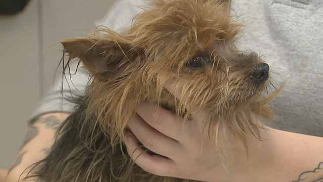 The Humane Society of Missouri says dozens of Yorkshire Terriers were rescued from Bates Co. in western Mo. Credit: KMOV