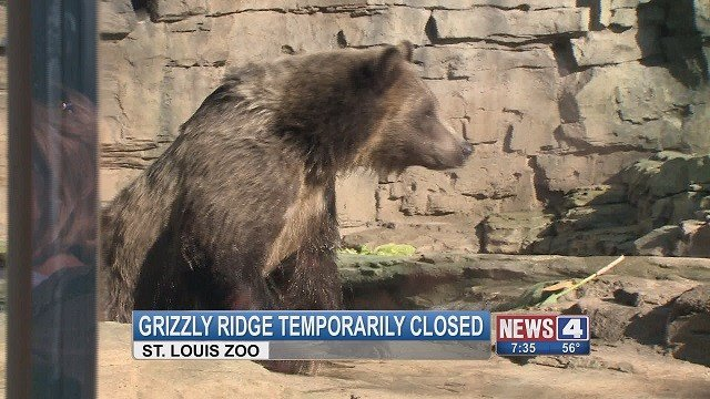 The Grizzly Ridge enclosure will be temporarily closed to fix an area that the bears have been digging at. (Credit: KMOV)