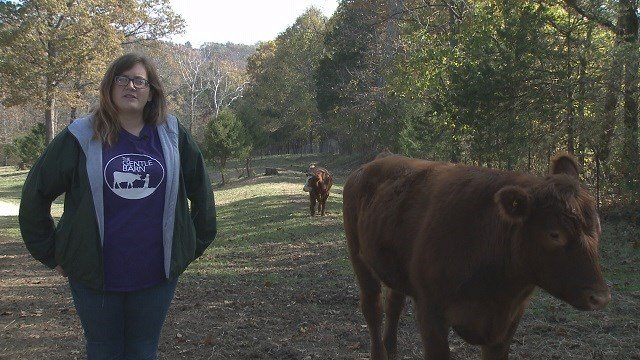 A well-known story of six steers escaping a slaughterhouse in north St. Louis ended on a good note with many of the steer,including Chico, finding a new home. (Credit: KMOV)