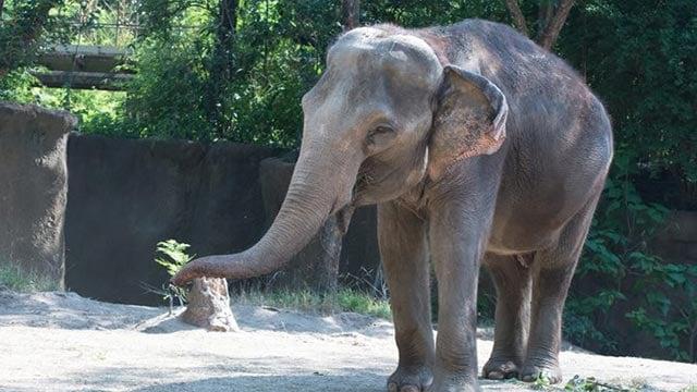 Ellie (Credit: Saint Louis Zoo / Facebook)