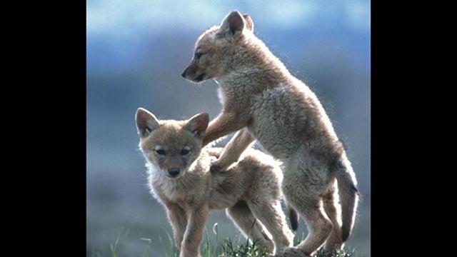 Coyote pups at play (Credit: AP Images)