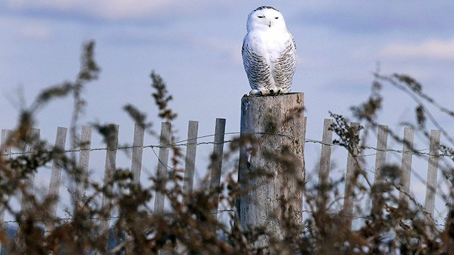 In this Thursday, Dec. 14, 2017 photo, a snowy owl sits atop a fence post after being released along the shore of Duxbury Beach in Duxbury, Mass. (AP Images)