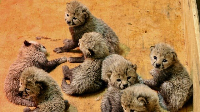 The cheetah cubs at three weeks old. (Credit: Carolyn Kelly, Saint Louis Zoo)