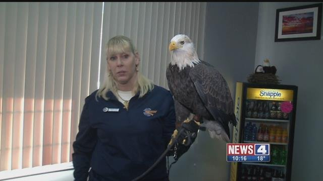 A bald eagle rests on the arm of an Alton Visitor Center employee (Credit: KMOV)
