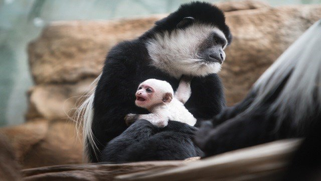 The Saint Louis Zoo welcomed the baby Colobus monkey on December 29, 2017. (Credit: Saint Louis Zoo)